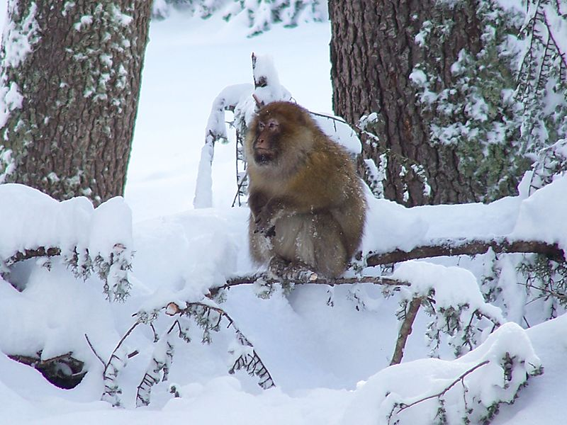 https://www.moroccodailytours.com/wp-content/uploads/2018/11/Barbary_macaque_in_cedar-1.jpg